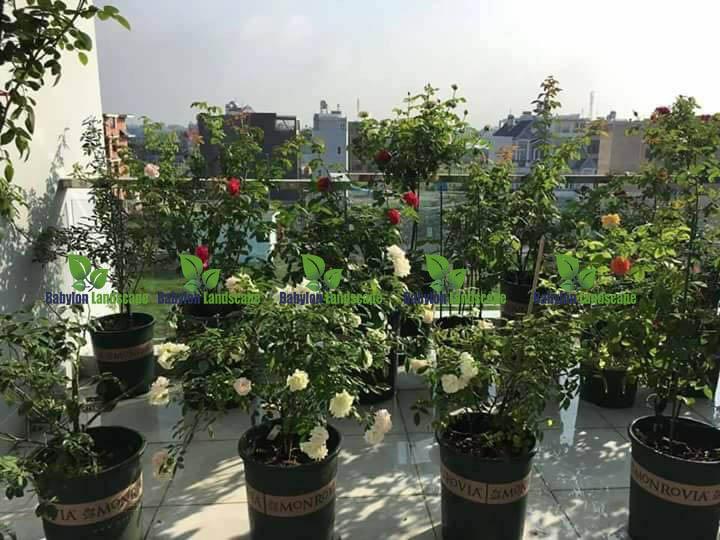 chau-monrovia-trong-hoa-hong